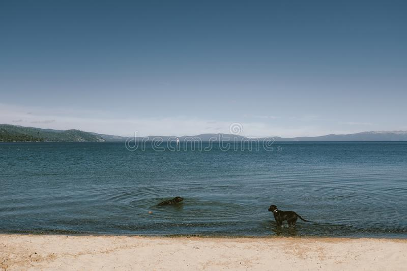 Wide shot of two dogs on a beach shore standing and swimming with mountain and blue sky royalty free stock photo