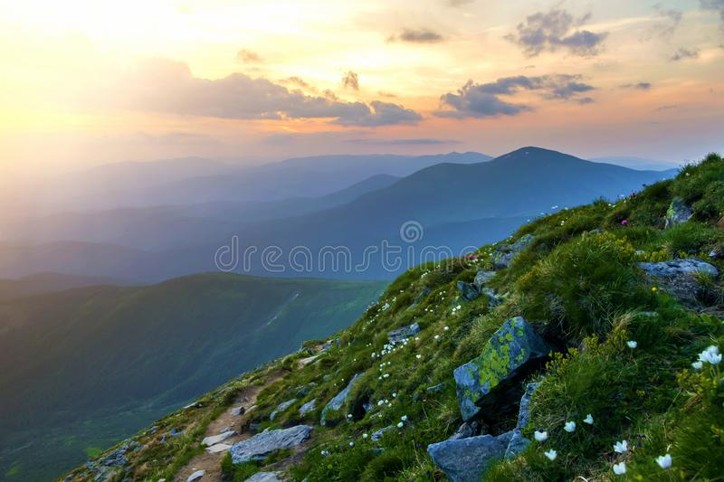 Wide summer mountain panorama at dawn. Beautiful white flowers blooming in green grass among big rocks and mountain range under. Pink sky before sunrise stock photo