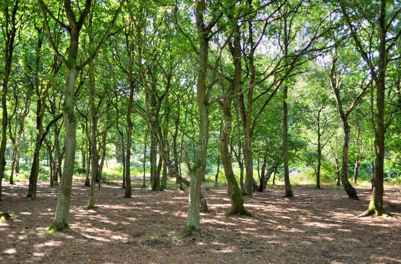 Download A Wide Sunlit Footpath Passes Between Oak And Silver Birch Trees In Sherwood Forest Stock Image - Image of woodland, forest: 100272401