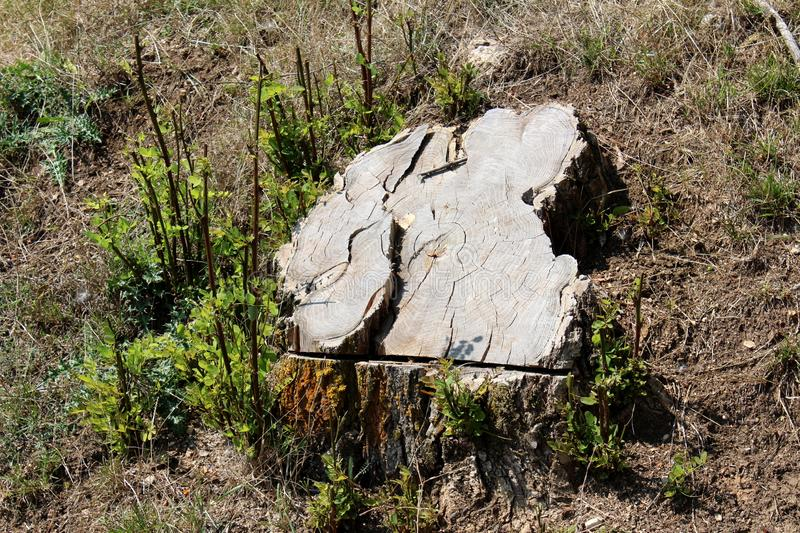 Wide tree stump left after cutting surrounded with small new branches full of fresh green leaves and uncut grass stock image