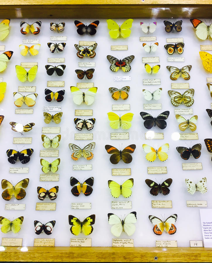 Wide variety of butterflies in display case. royalty free stock photos