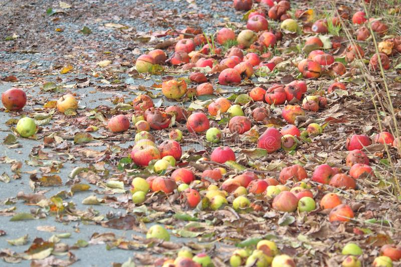 Rotten Spoiled Apples on Ground. Wide view of apples laying on the ground, rotting and going to waste after falling off the tree stock photography