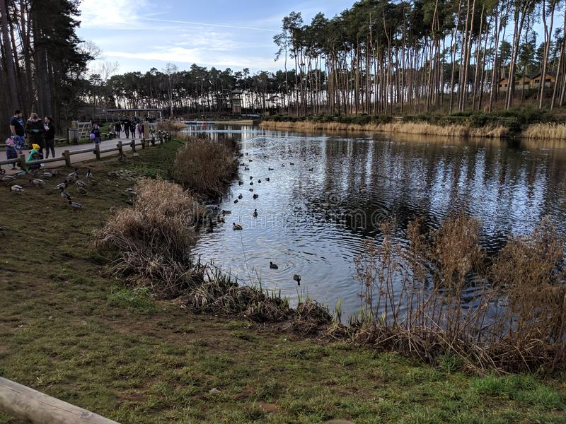 View of the lake, ducks, reeds, sky and walkway. royalty free stock image