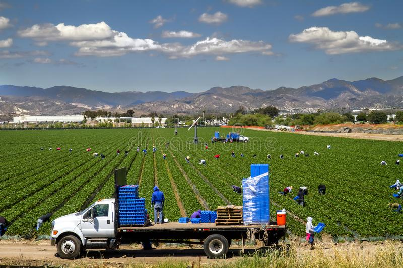 Wide view of strawberries being harvested in Irvine CA stock photos