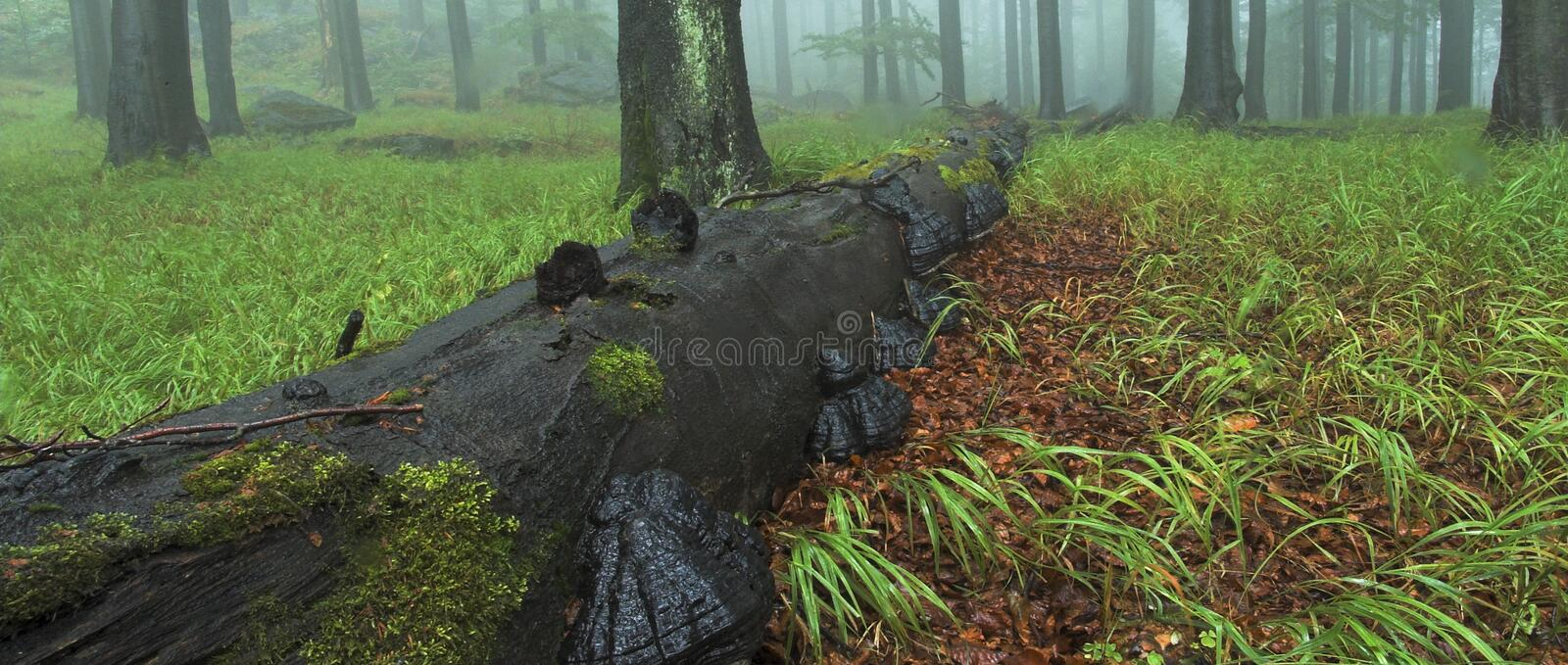 Download Wide wood with trunk stock photo. Image of outdoor, czech - 1111954