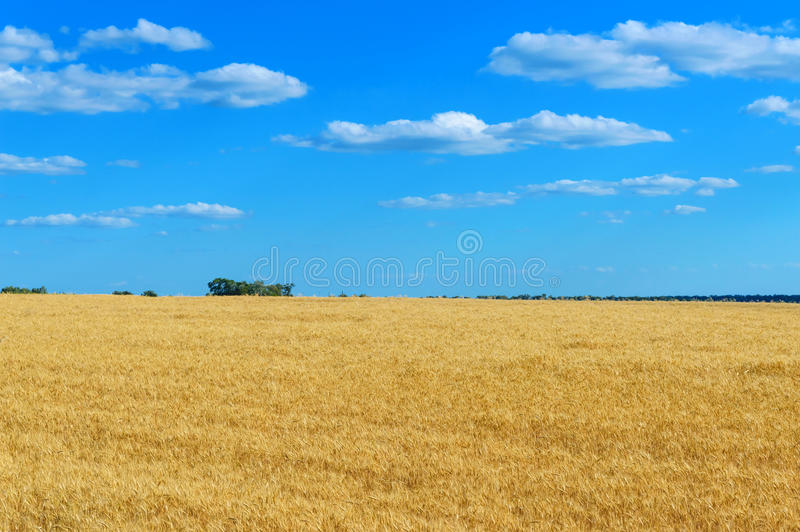 A wide yellow field of spikelets of wheat and a blue sky above it. Sunny weather. The concept: peace and prosperity.  stock photography