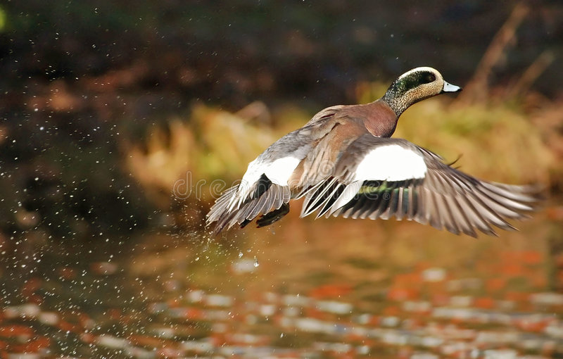 Widgeon lizenzfreies stockbild