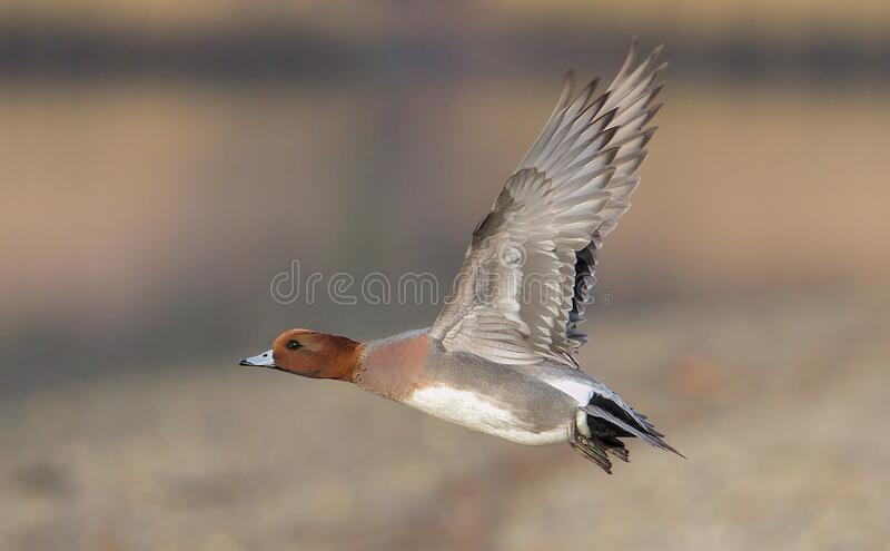 Widgeon Taking Flight royalty free stock images