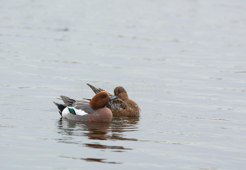 Widgeon duck couple stock image