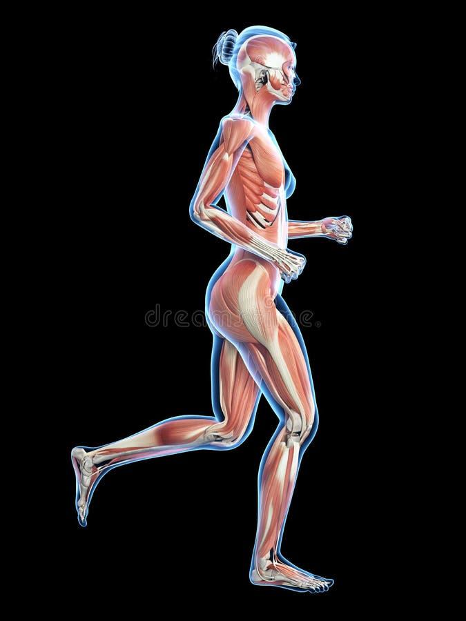 Widoczni krwionośni mięśnie ilustracja wektor