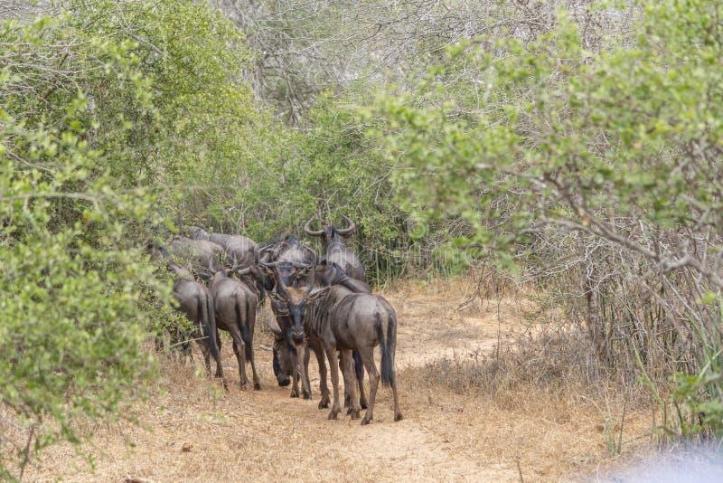 Widok Afrykański wildebeest stado, szczegółowy w naturalnym siedlisku obrazy stock