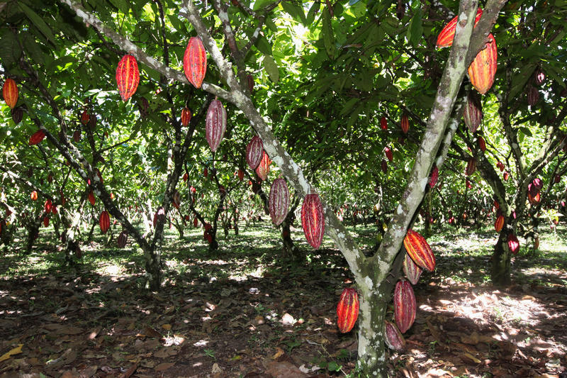 Widok cacao plantacja fotografia stock