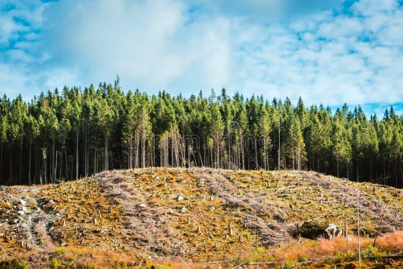 Widok cięcie puszka miejsce w sosnowym lesie zdjęcie stock