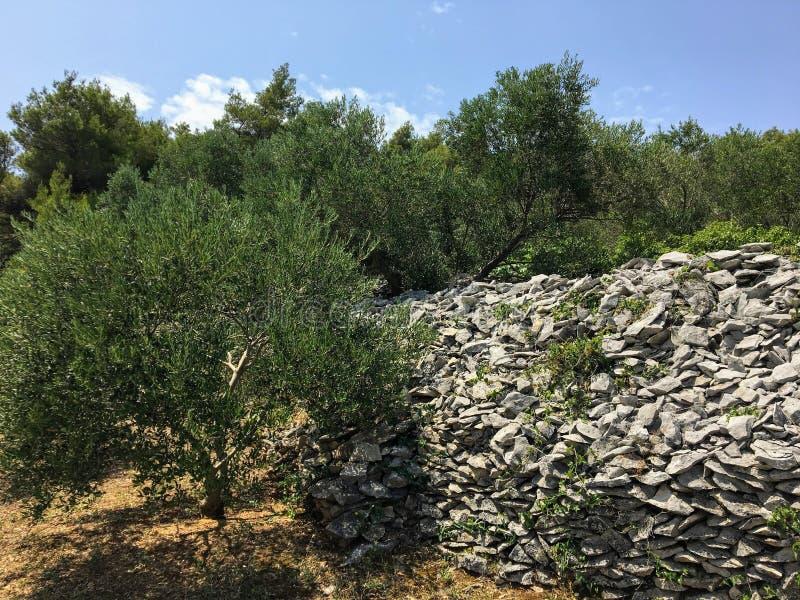Widok drzewa oliwne zasadzający na skalistym tarasie na wyspie Korcula, w Chorwacja fotografia royalty free