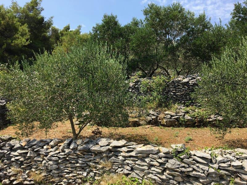 Widok drzewa oliwne zasadzający na skalistym tarasie na wyspie Korcula, w Chorwacja zdjęcie royalty free