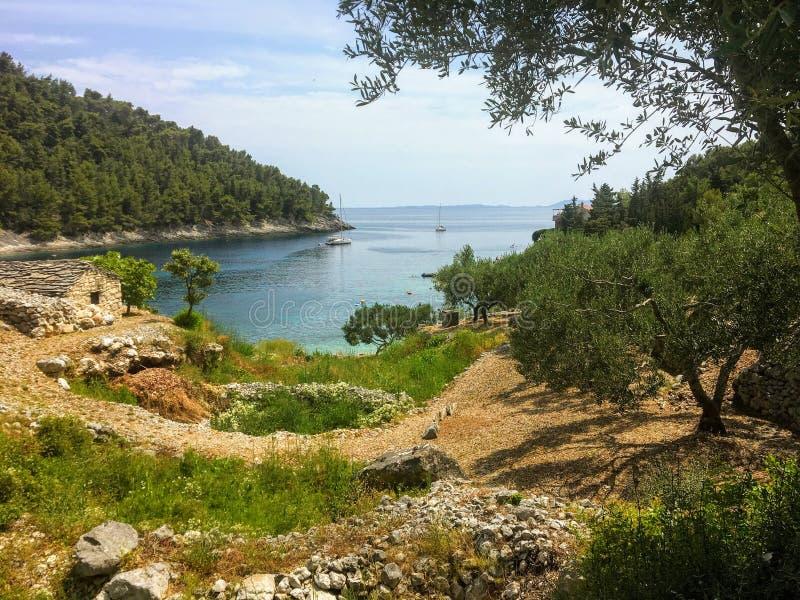 Widok drzewa oliwne zasadzający na skalistym tarasie na wyspie Korcula, w Chorwacja W tle jest piękna zatoka obrazy royalty free