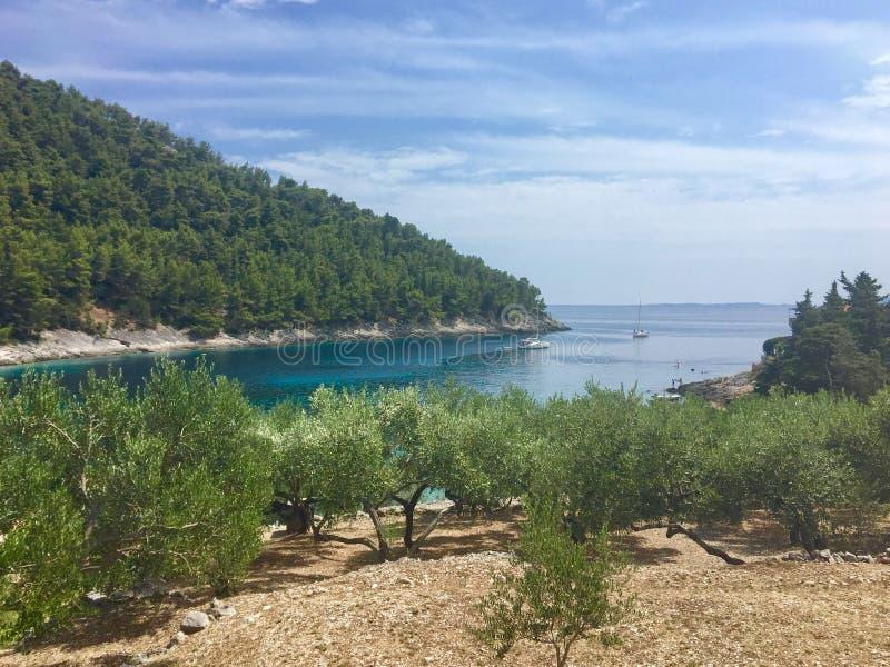 Widok drzewa oliwne zasadzający na skalistym tarasie na wyspie Korcula, w Chorwacja W tle jest piękna zatoka obraz stock
