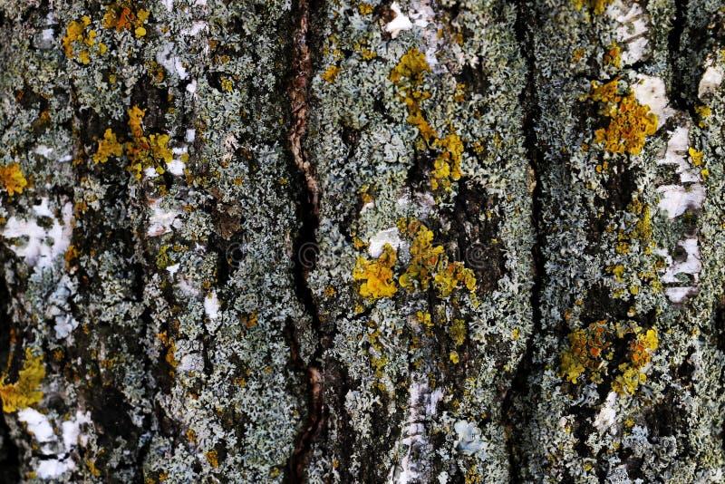 Widok drzewny bagażnik, brzozy barkentyna, zakrywająca z mech obrazy stock