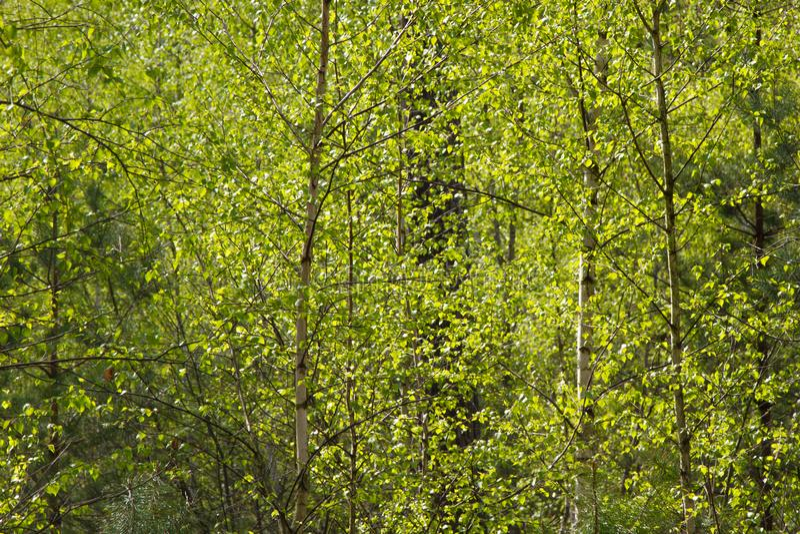 Widok forrest brzozy i zieleni sosny na pogodnym letnim dniu z jaskrawym niebieskim niebem obrazy stock