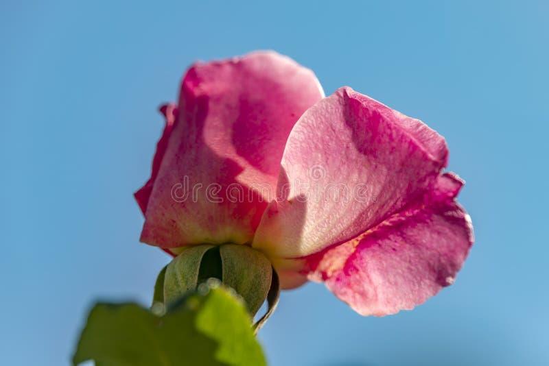 Widok głowa różowi różanego kwiatu w backlight na błękitnym tle obraz royalty free