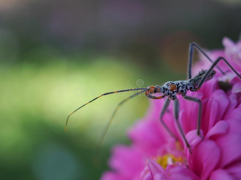 Widok insekty z długimi nogami i wąsami, nogi przyczepiać na różowych kwiatach zdjęcie royalty free