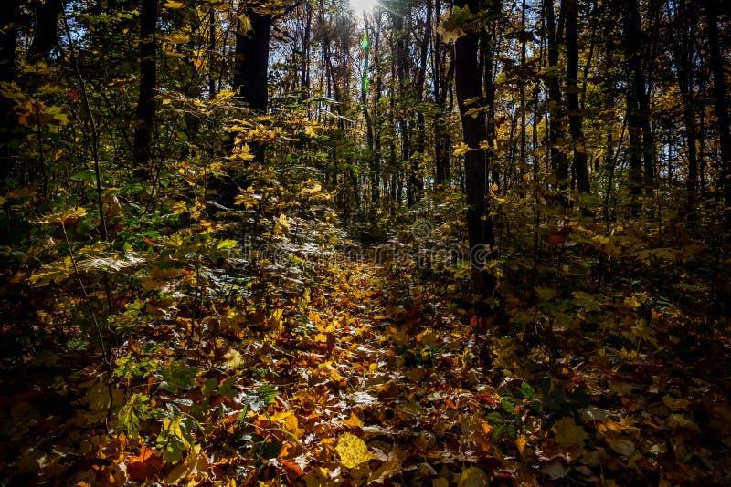 Widok jesień las zaświecał promieniami słońce zdjęcia royalty free