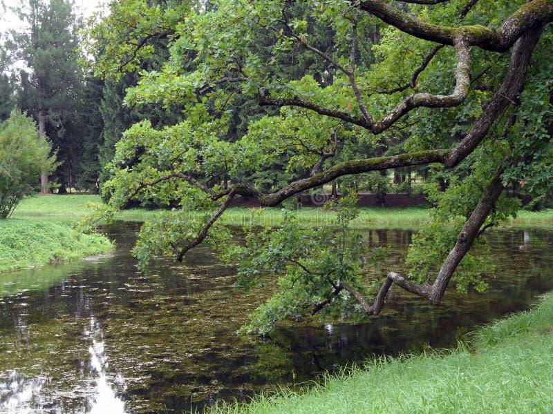Widok jezioro przez gałąź stary dębowy drzewo na chmurnych dniach Staw z trawą i kwitnienie wodą fotografia royalty free