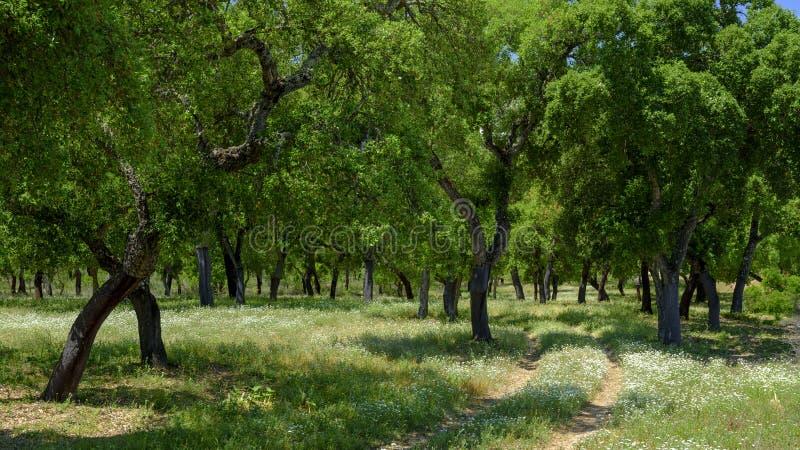 Widok korkowi drzewa wśród ciemniutkiej halizny na zewnątrz miasteczka El Chaparrito blisko Parque naturalny De Los angeles Sierr zdjęcia stock