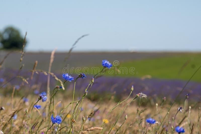 Widok lawendowi pola na kwiatu gospodarstwie rolnym w Cotswolds UK Dzikich kwiatów dorośnięcie w przedpolu zdjęcie stock