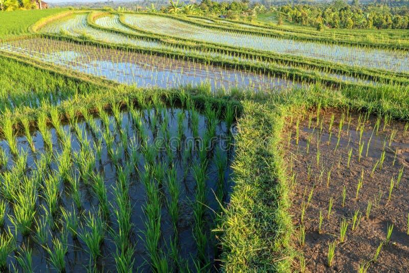 Widok Młoda Rice flanca Gotowa Rosnąć w Ryżowym polu W polu Irlandczyk?w ry? Rice tarasy z wodnym i małym zielonym ryżu ziarnem obraz stock