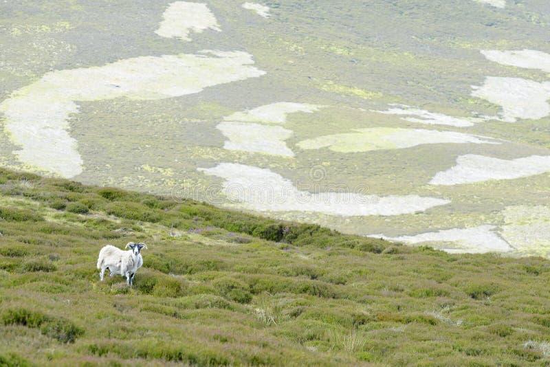 Widok Moorland i miejscowego cakle zdjęcia royalty free