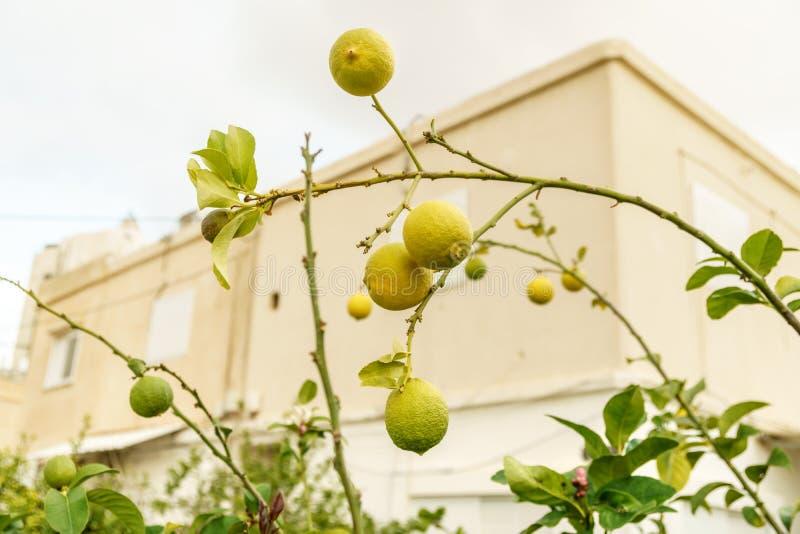 Widok na świeżej organicznie i zdrowej cytryny roślinie Rolnictwo cytrusa owoc z naturalnym jaskrawym żółtym kolorem obraz royalty free