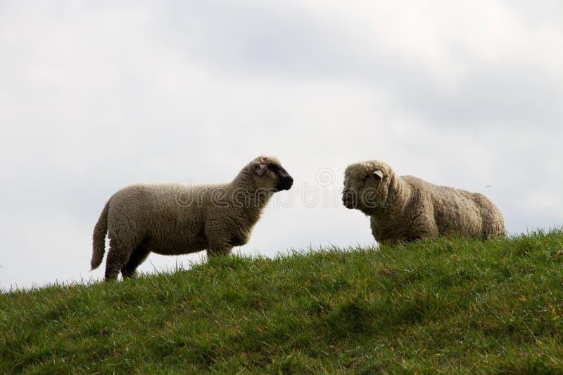Widok na dwa sheeps patrzeje na each inny na trawa terenie w rhede ems emsland Germany zdjęcie royalty free