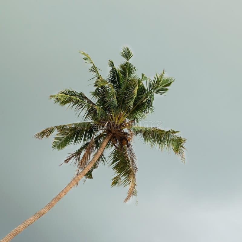 Widok na kokosowym drzewku palmowym na tle ciemny burzowy niebo obraz stock
