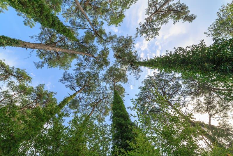 Widok na koronach wysokie odwiecznie sosny przeciw niebieskiemu niebu spod spodu zdjęcia stock