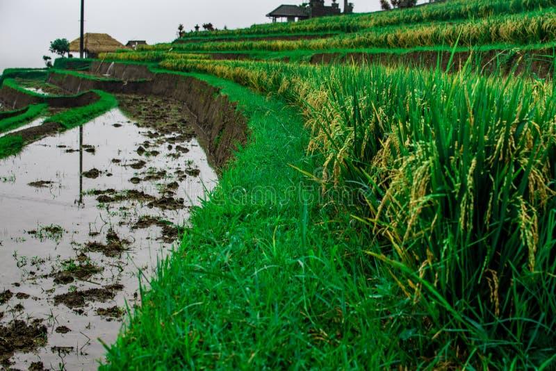 Widok na wzrostów polach i polach z wodą przy Bali wyspą Indonezja zdjęcie royalty free