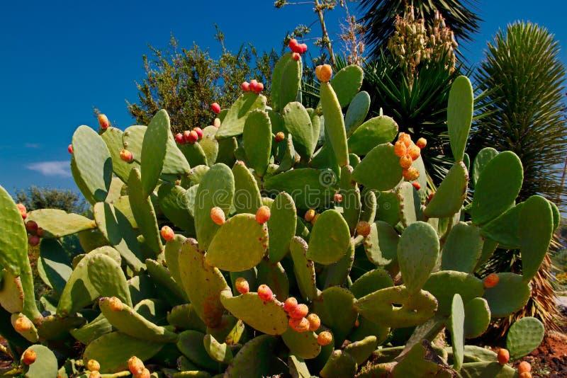 Widok opuntia kłującej bonkrety kaktus z tuńczyk owoc na niebieskiego nieba tle zdjęcia royalty free