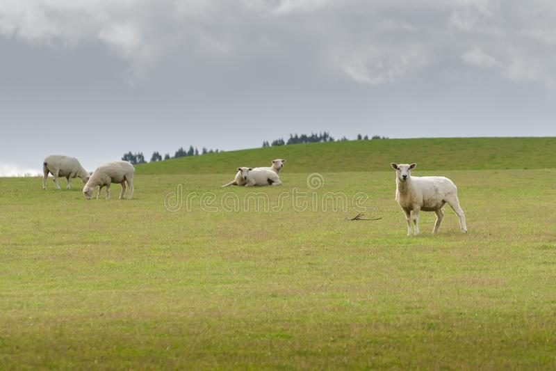 Widok pastwiskowi cakle na łące, Nowa Zelandia zdjęcia stock