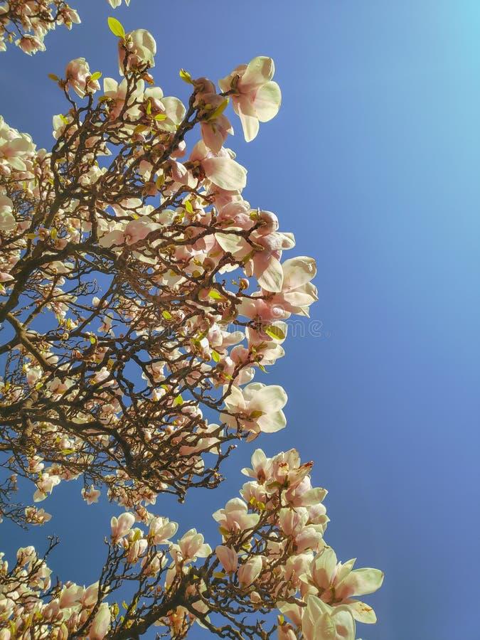 Widok piękne kwitnące białe magnoliowe gałąź przeciw jasnemu niebieskiemu niebu fotografia stock