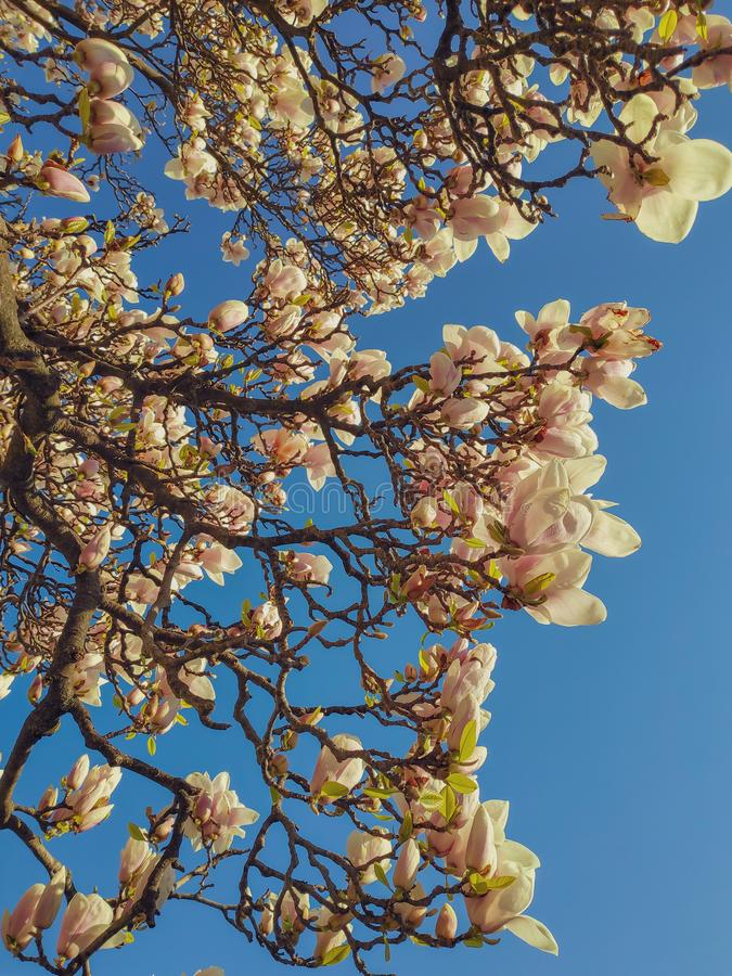 Widok piękne kwitnące białe magnoliowe gałąź przeciw jasnemu niebieskiemu niebu obraz royalty free
