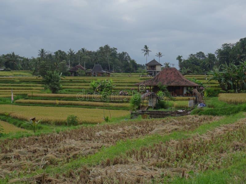 Widok piękni ryż pola przed zbierać obrazy royalty free