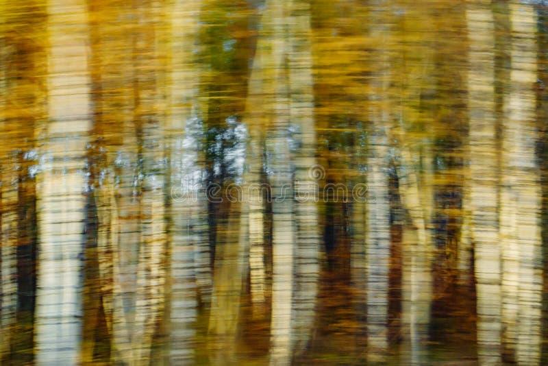 Widok piękny jesieni brzozy gaju las zamazywał w ruchu fotografia stock