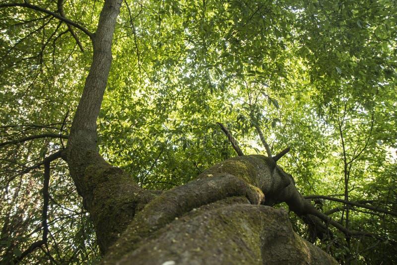 Widok pod dużym drzewem obrazy stock
