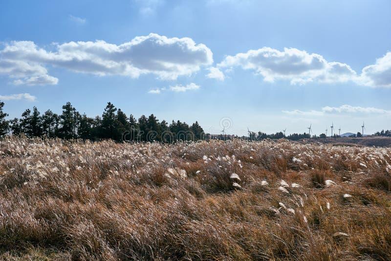 Widok pole srebna trawa i silniki wiatrowi w tle w Jeju wyspie, korea południowa obraz stock