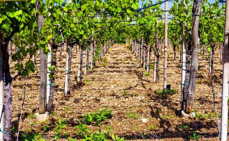 Widok przez rzędów winorośl zdjęcie stock
