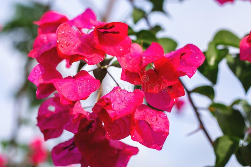 Widok różowy jesieni królewskości bis azalii kwiat z wodnymi rosa kroplami obrazy royalty free