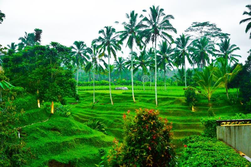 Widok romantyczny, relaksujący ryżu pola taras w tropikalnej wyspie w Azja z i zdjęcia royalty free