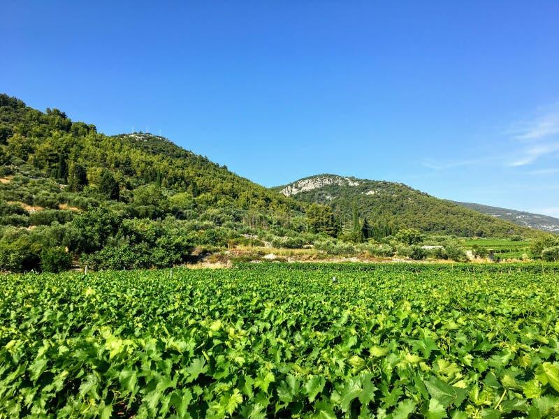 Widok rozkładać się wina winnica r lokalnych grk winogrona na Korcula wyspie w Chorwacja zdjęcia stock