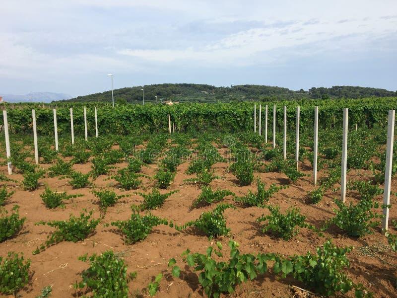 Widok rozkładać się wina winnica r lokalnych grk winogrona na Korcula wyspie w Chorwacja zdjęcie royalty free