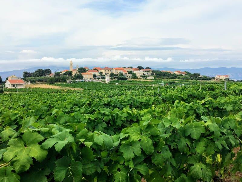Widok rozkładać się wina winnica r lokalnych grk winogrona z miasteczkiem Lumbarda w tle na Korcula, fotografia stock